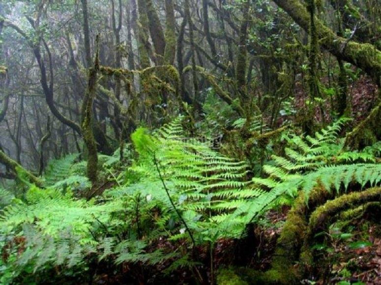 Bosque de La Gomera