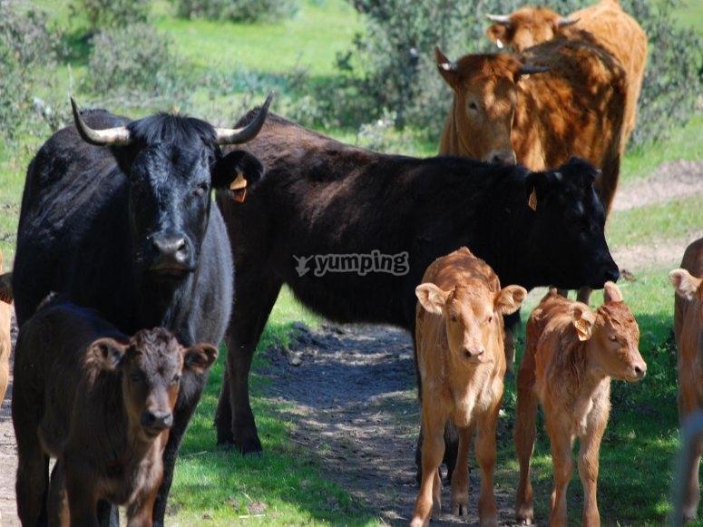 Reses de la ganaderia