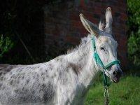 burro amable