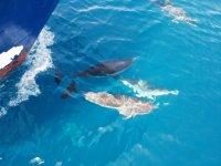 Delfines nadando junto al Portmany