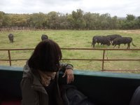 Knowing the native livestock