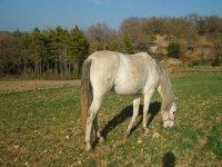 caballo blanco comiendo cesped
