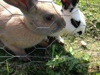 Conejos tras la valla