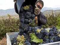 Volcando la uva recogida