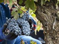 Manos repletas de racimos de uvas