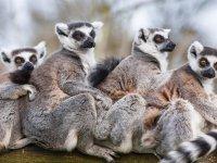 nuestros lemures