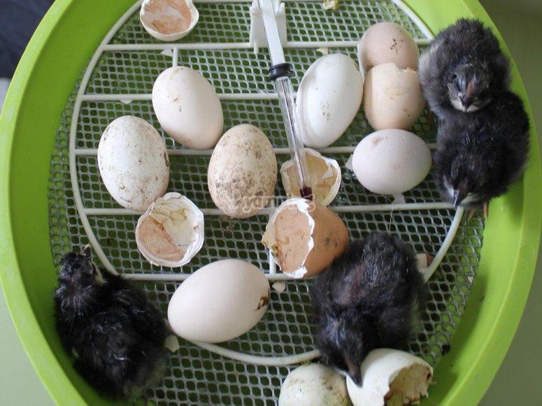 Pollos recien nacidos