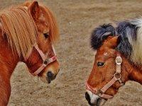 Ponis jugando