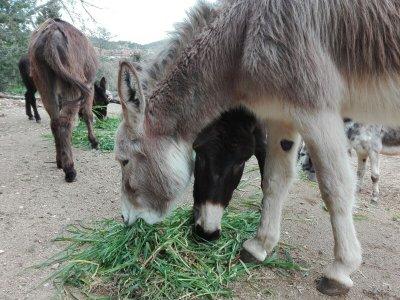 Paseo en burro para niños en Tiana 30 minutos