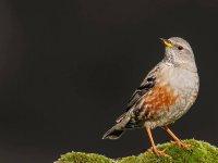 的Cruceras鸟类观鸟