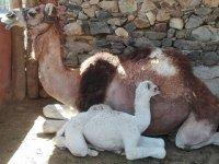 骆驼与她在马厩