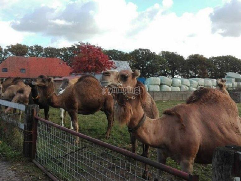 驼队骆驼友好和良好