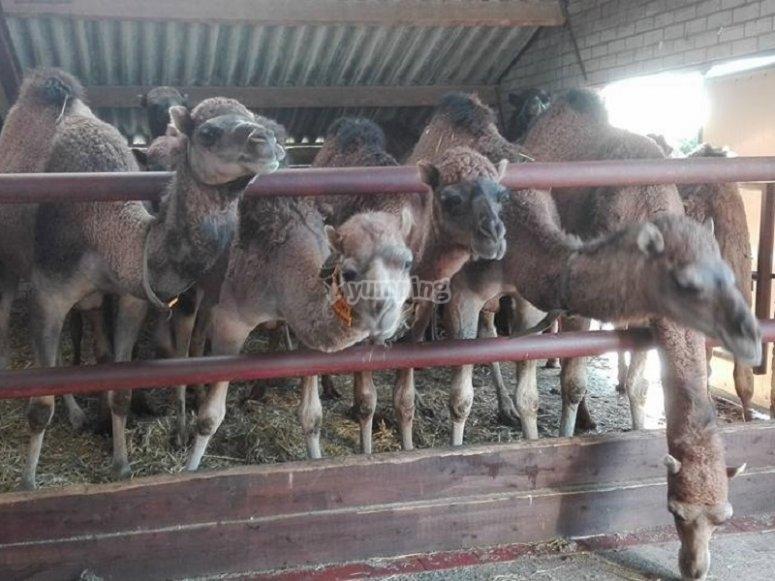来骑的骆驼背后