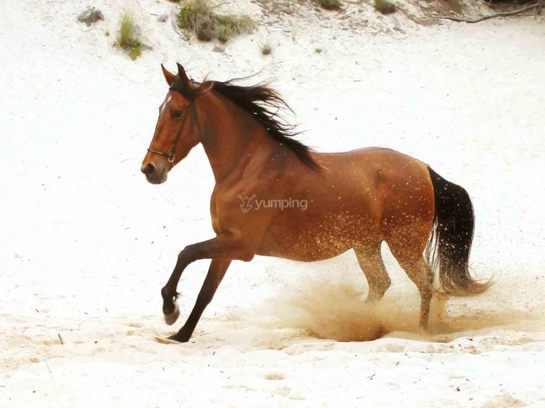 Cheval galopant