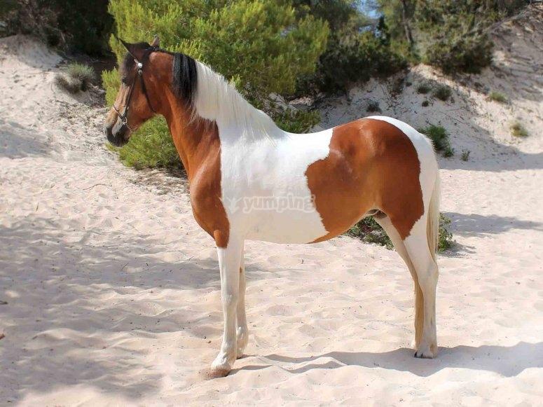 Cavallo bianco e marrone