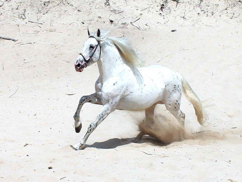 Cavallo in gara