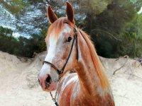 Gran ruta a caballo al atardecer en Mallorca 4h