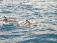 在海洋海龟游泳的海豚群