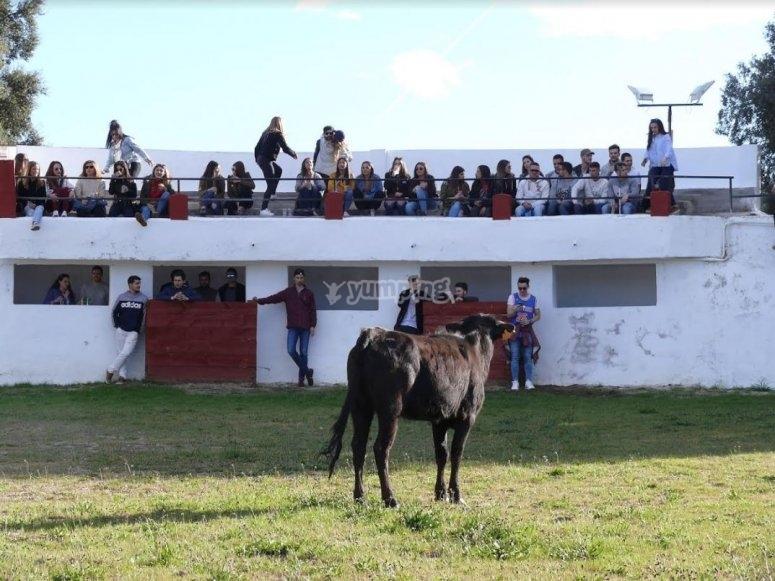 Vaquilla mirando al publico