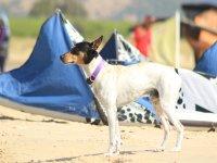 风筝在水犬学校在水中冲浪扬
