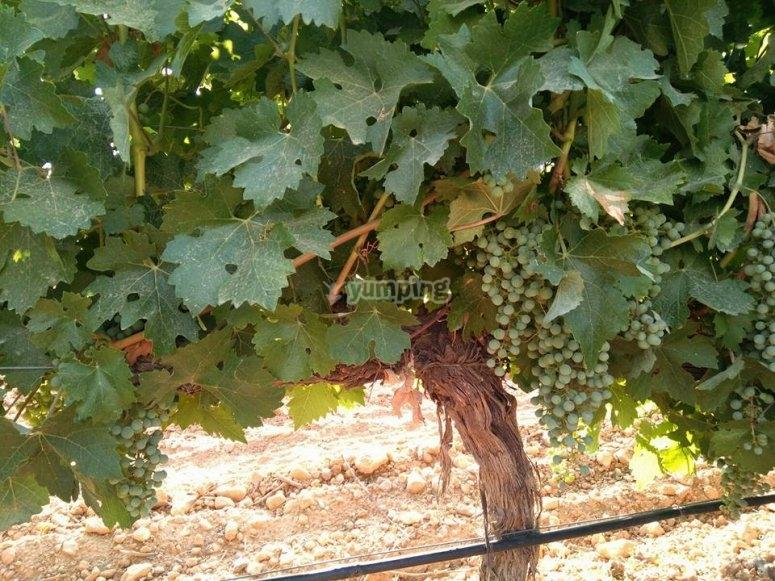 Uvas para vino blanco