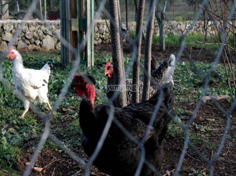 Prendersi cura dei polli