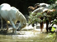 Horses in Freedom on the Salarsa stream