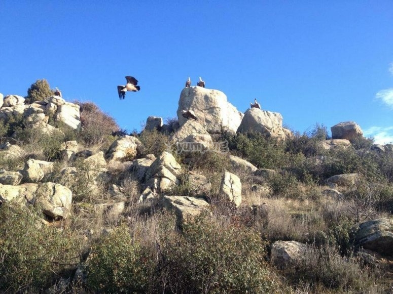 Rapaci che sorvolano la Sierra