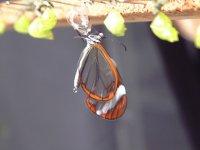 Otra de las especies de mariposa
