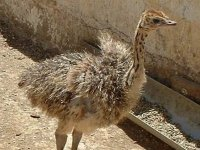 avestruz en un corral