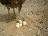 avestruz mirando unos huevos