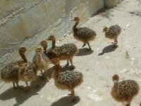 crias de avestruces en un corral