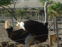 gran avestruz de pie