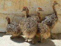 varias avestruces pequenas