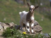 在岩石上的虱子旱獭alimentandose小山羊