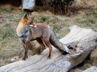 Zorro sobre el tronco