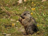 Marmota alimentandose