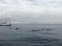 帆船前的海豚群