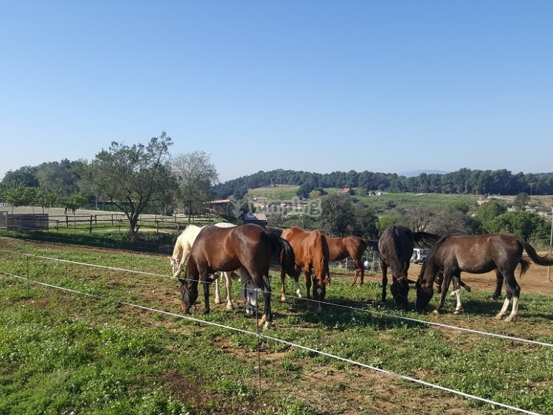 Horses eating in the farm of Cardedeu