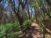 Agujereada杉树林在Garajonay