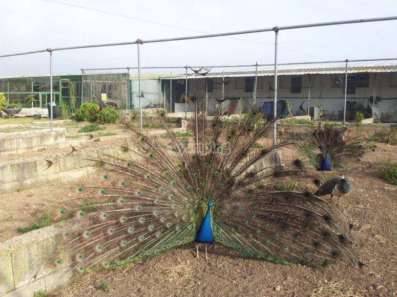 Pavone nella fattoria di Albacete