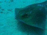 Specie marine che esplorano il fondo