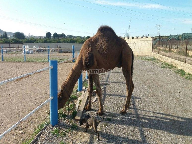 Ruta en camello en Valencia