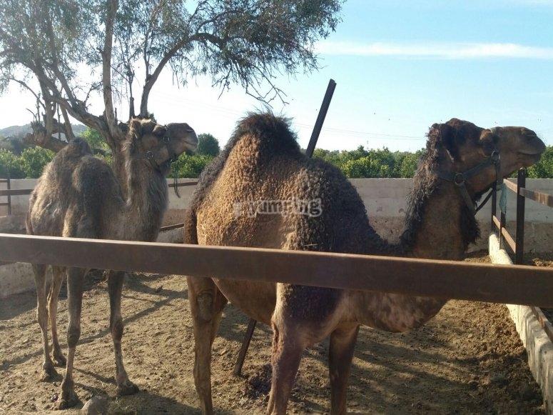 Camello en Valencia