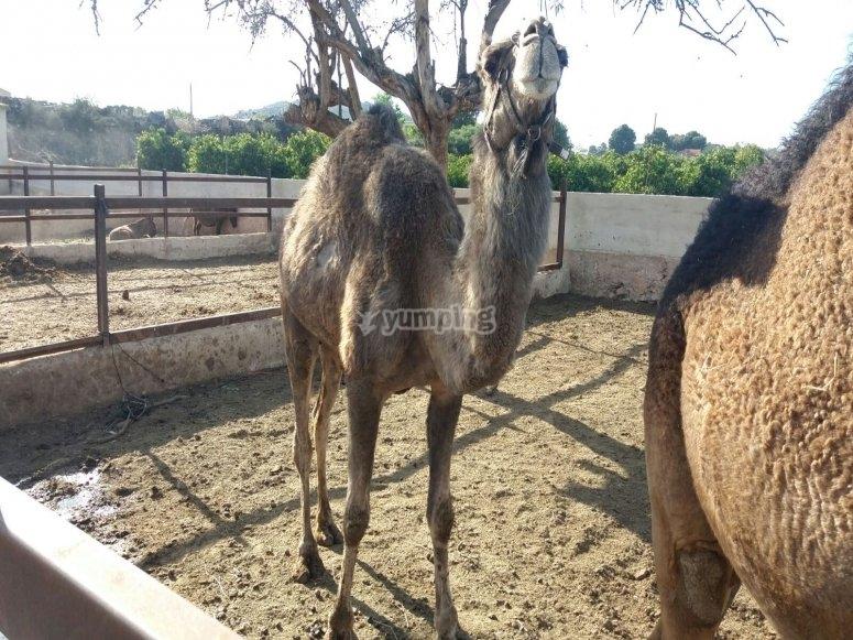 Monta a camello en Valencia