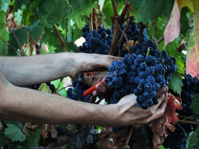 葡萄酒酿造过程