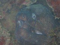anguilas marinas
