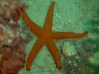 stella marina