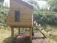 entrando en el gallinero