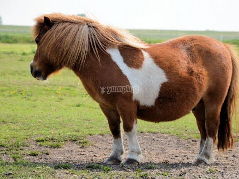 Pony mirando hacia atras